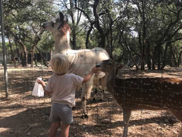 Little boy feeding a deer and looking at a llama at the Austin Zoo