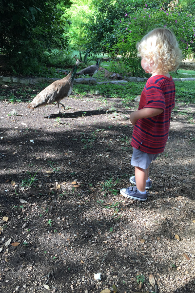 Little boy with white blonde hair looking at a peacock